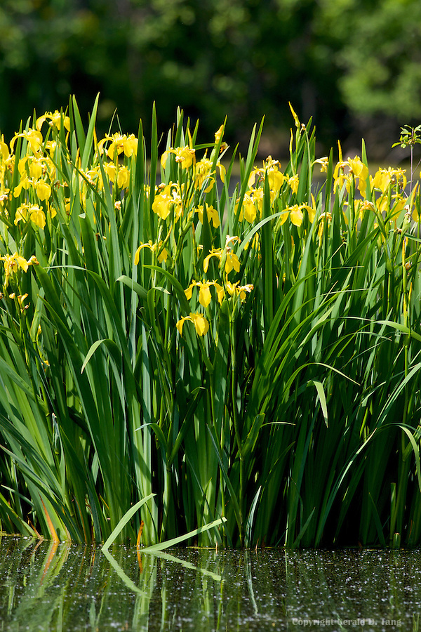 Tall Yellow Iris  700467