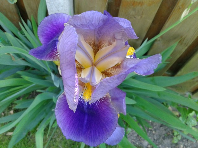 Iris_Germanica )