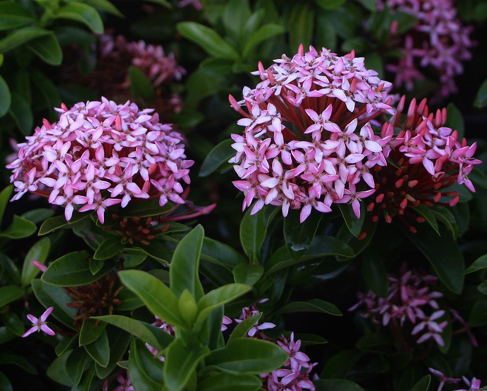 Ixora-coccinea-pink