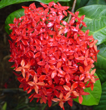 Ixora