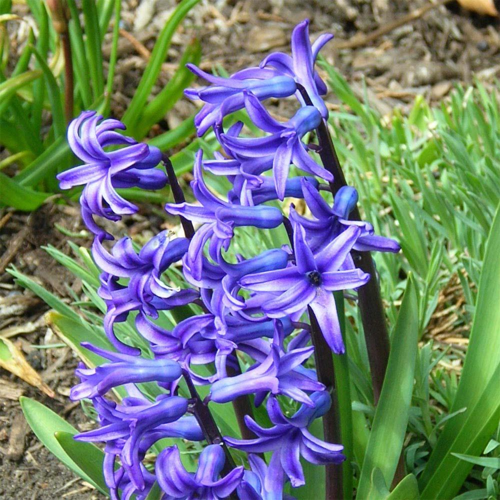Jacinto - Hyacinthus orientalis