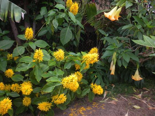 Jacobínia-amarela