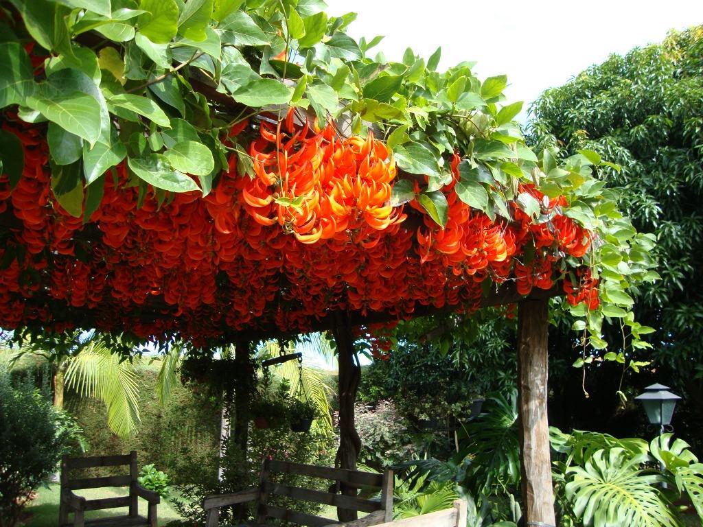 Jade vermelha - Mucunna bennetti