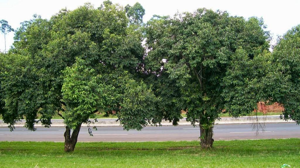 Jambolão – Syzygium jambolanum
