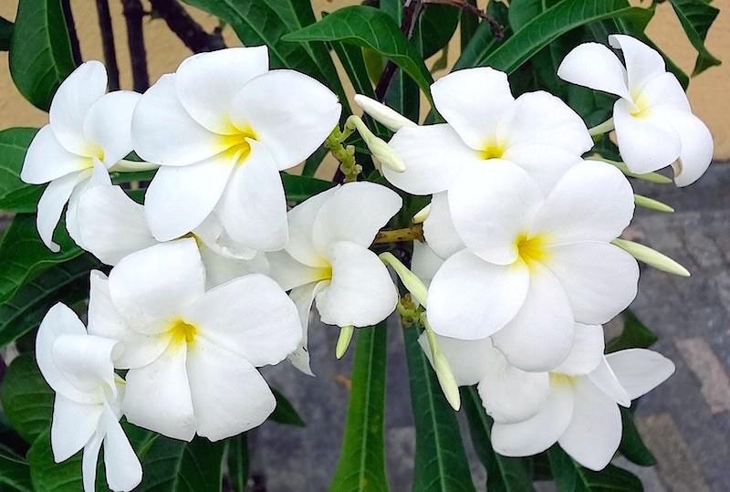 Jasmim-do-Caribe-Plumeria-pudica