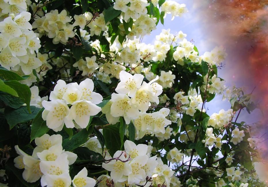 Jasminum grandiflorum