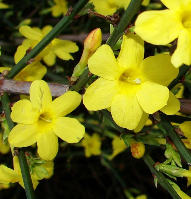 Jasminum nudiflorum)