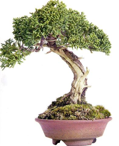 Juniperus chinensis (Small)