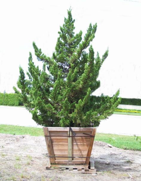 Juniperus chinensis torulosa