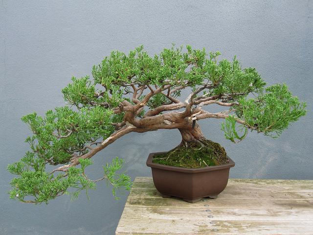 Juniperus chinensis torulosa1