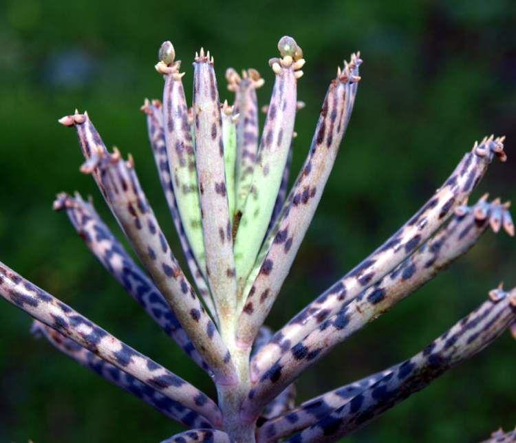 Kalanchoe delagoensis - Mãe de Milhares