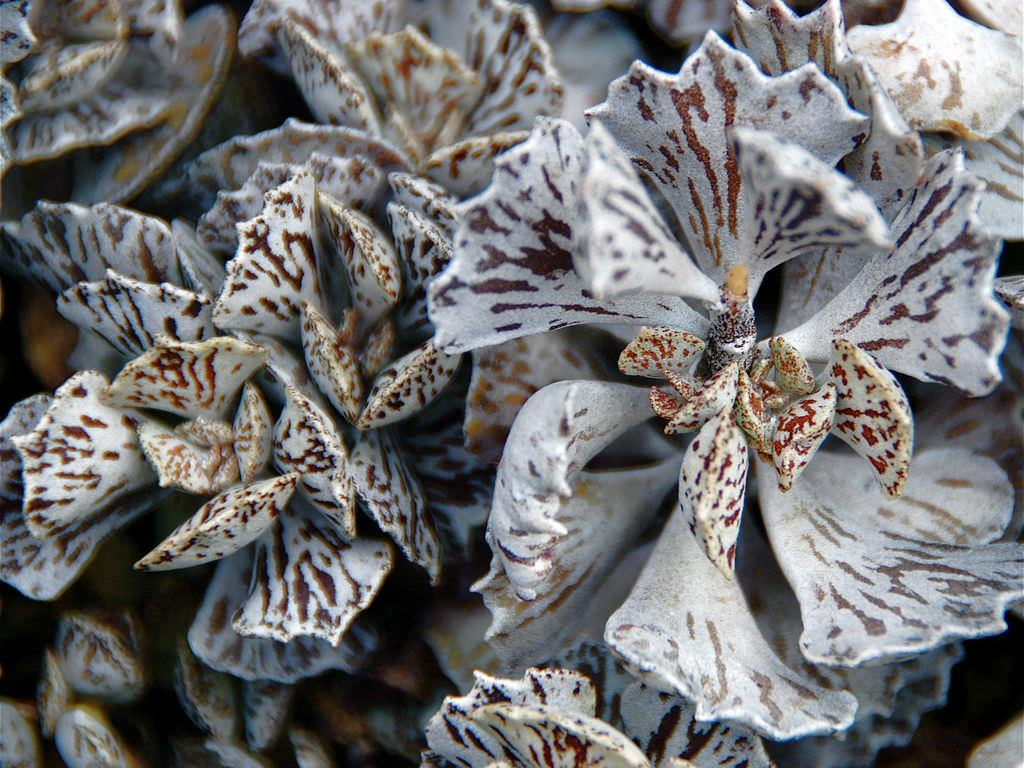 Kalanchoe-rhombopilosa-