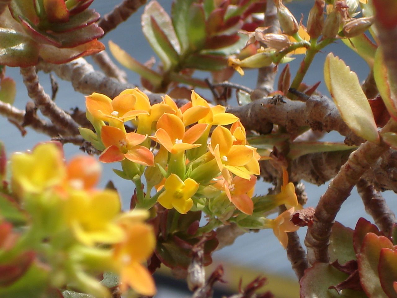 Kalanchoe  PlantaSonya  O seu blog sobre cultivo de plantas e flores