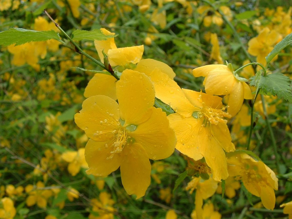 Kerria_japonica01