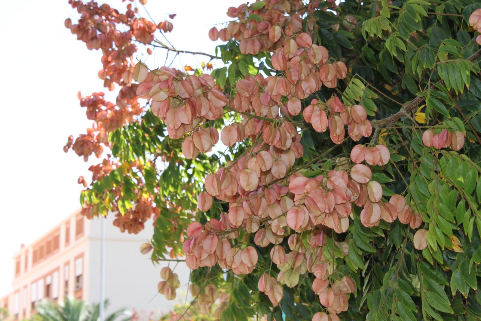 Koelreuteriapaniculata