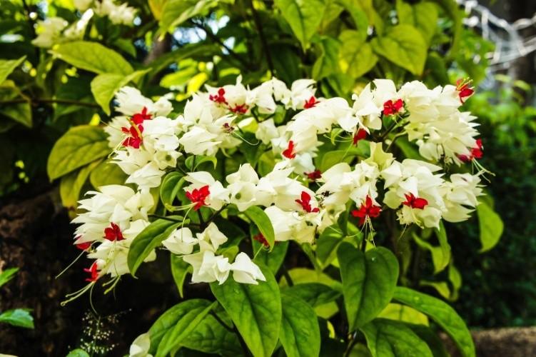 Lágrima de Cristo (Clerodendron thomsonae)