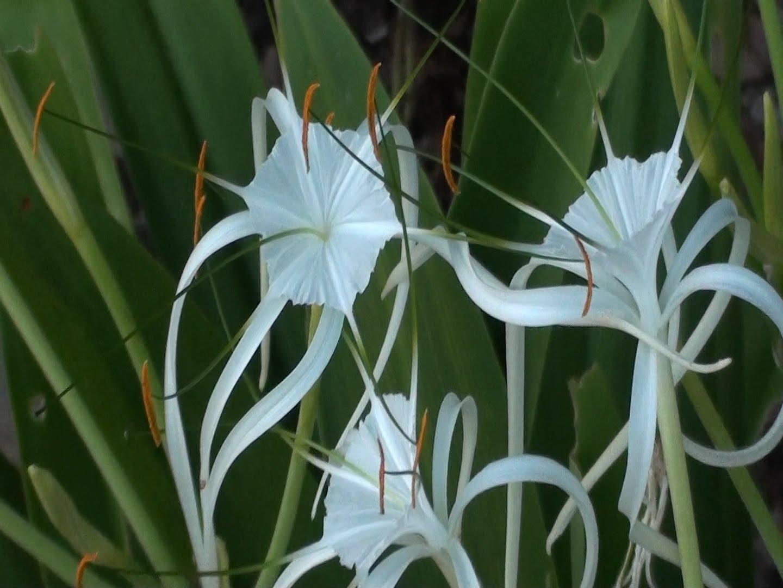 Lírio Spindel lilja