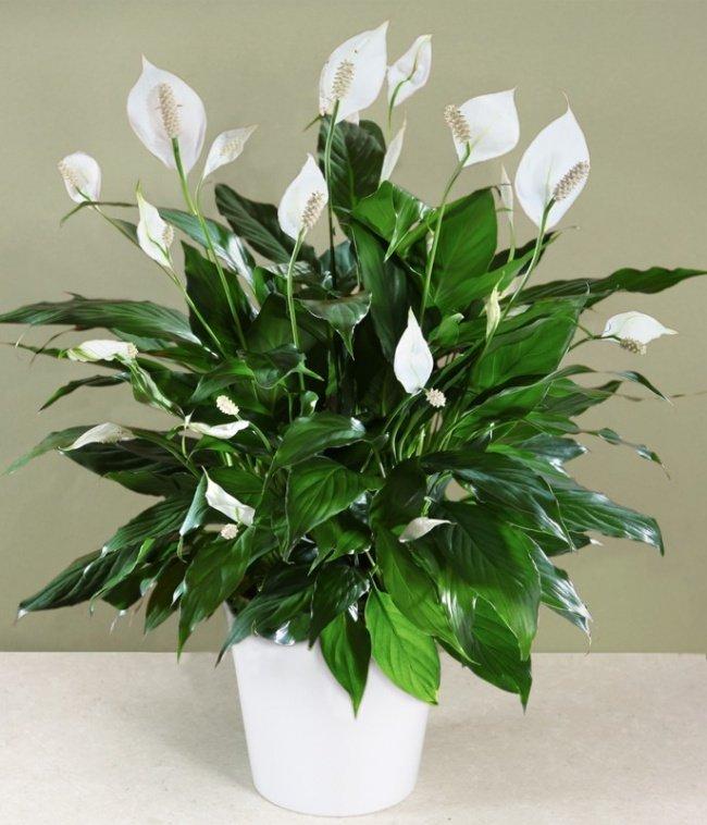 Lírio-da-paz (Spathiphyllum)