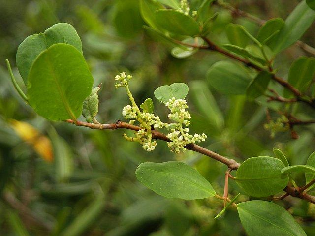Laguncularia_racemosa