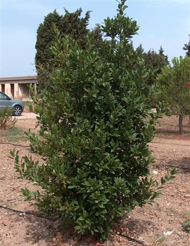 Laurus_nobilis_g1 (Small)