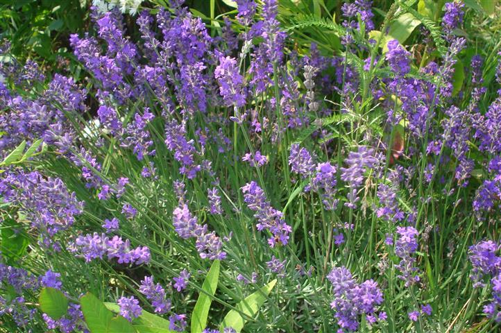 Lavandula_angustifolia_01 (1)