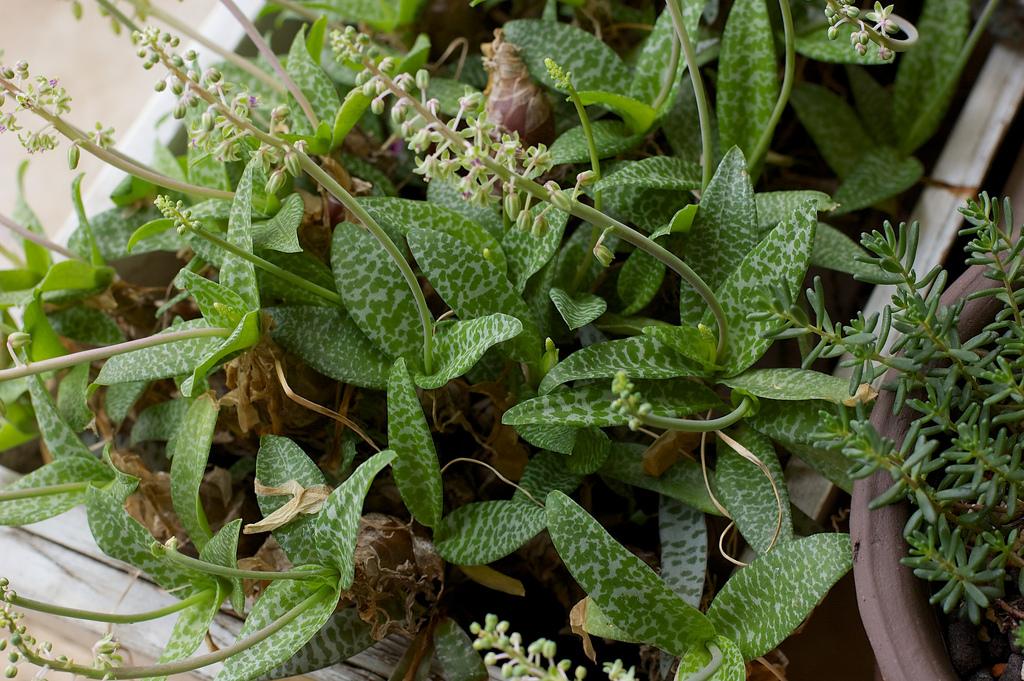 Ledebouria socialis Paucifolia