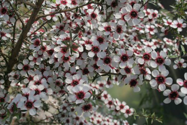 Leptospermum Scoparium1