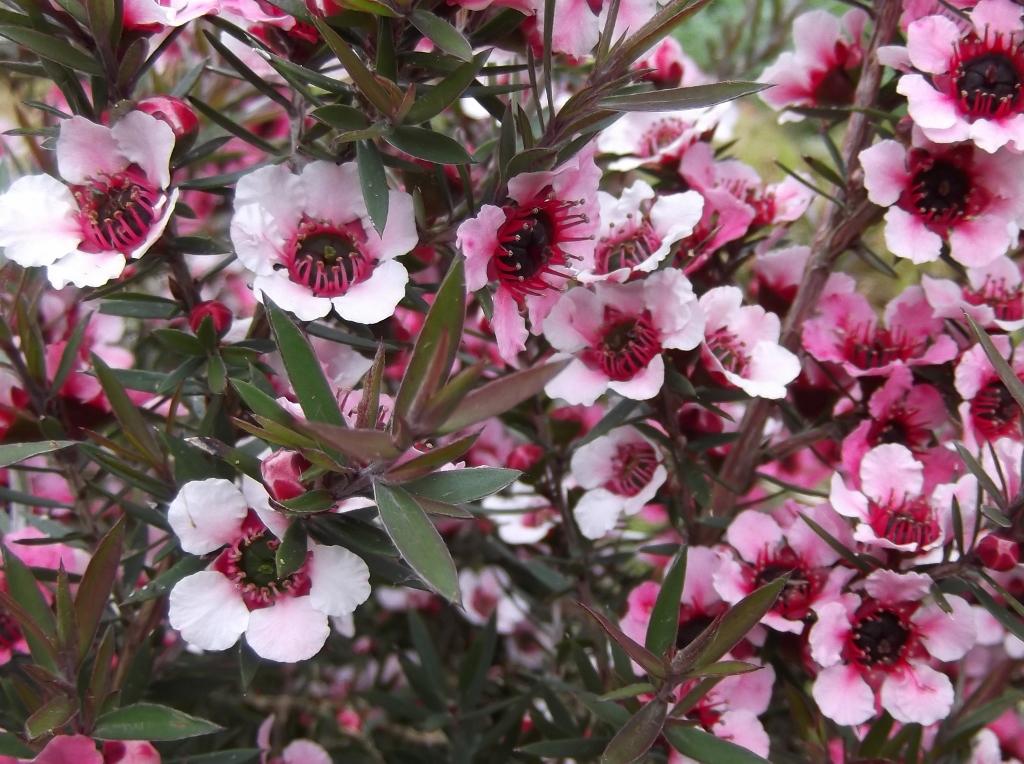 Leptospermum-scoparium-