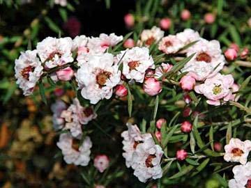 Leptospermum scoparium4