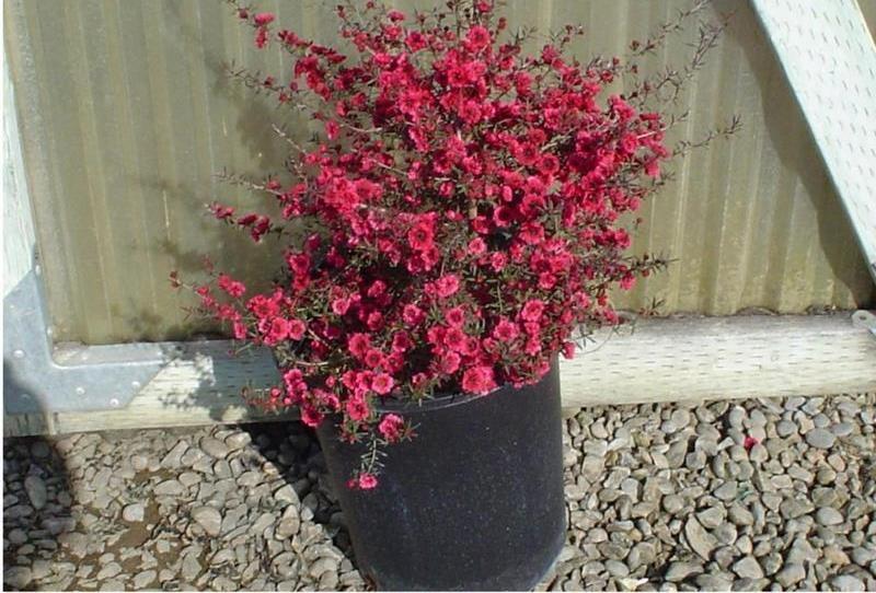 Leptospermum scoparium44
