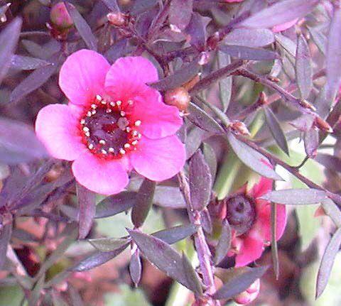 Leptospermum_scoparium041a