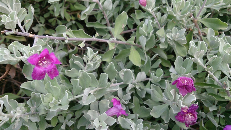 Leucophyllum frutescens (2) )