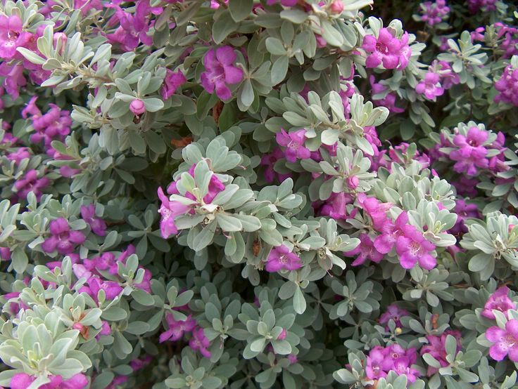 Leucophyllum frutescens)5678