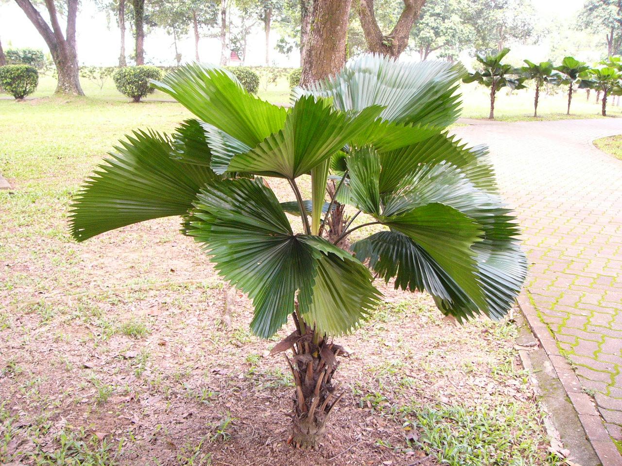 Licuala-grandis-palmeira-leque