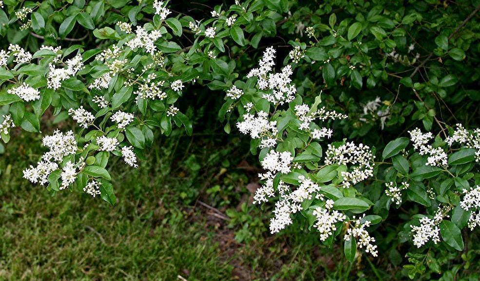 Ligustrum Sinense (arbustivo)