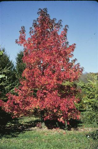 Liquidambar (Small)