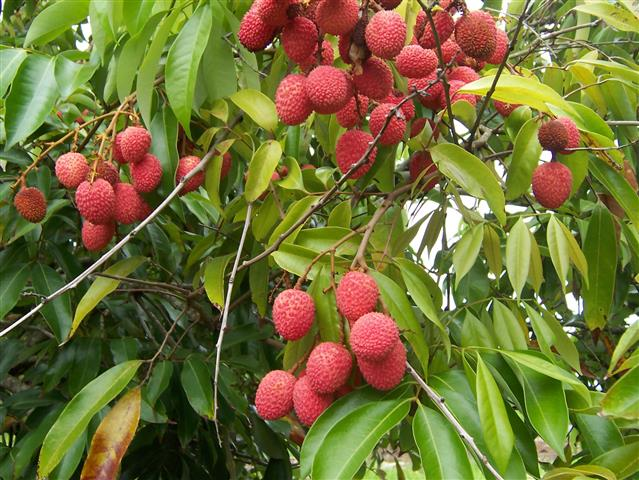 Litchi_chinensis_frutas