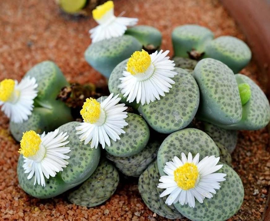 Lithops -flor