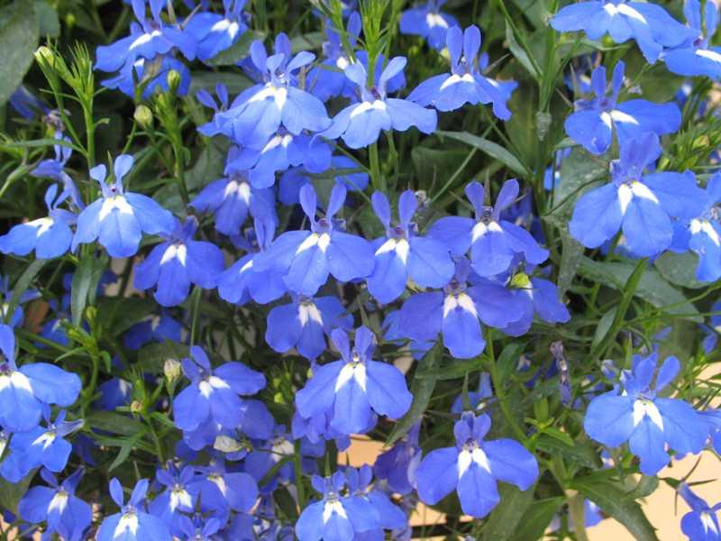 Lobélia-azul - Lobelia erinus