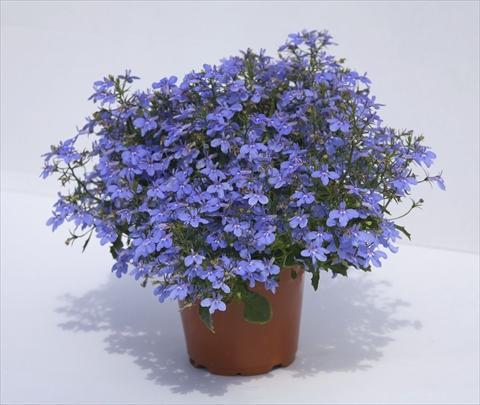 Lobélia azul