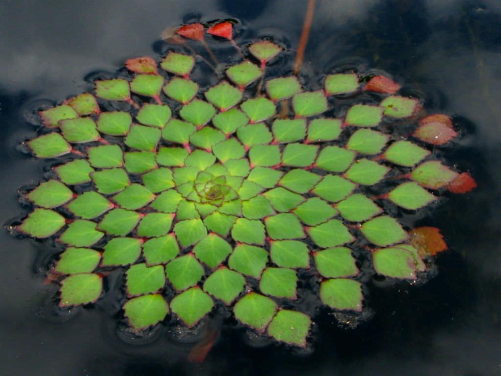 Ludwigia sedoides