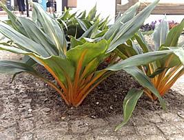 Lumina - Chlorophytum orchidastrum