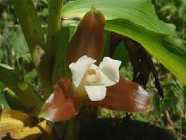 Lycaste-Macrophylla-