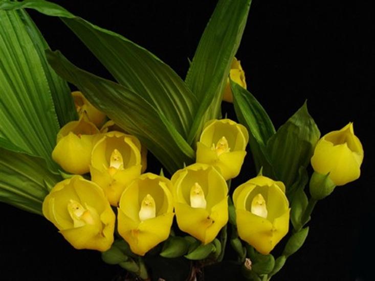 Lycaste angulosa