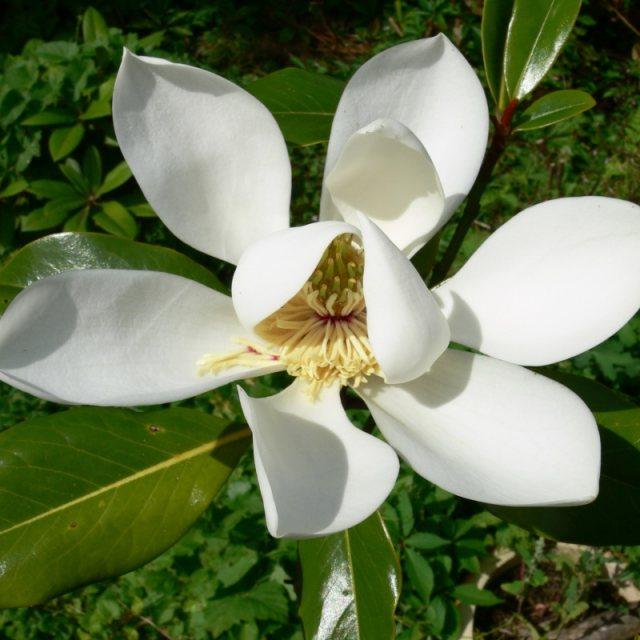 Magnólia-grandiflora,