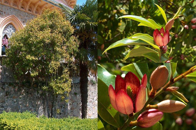 Magnolia figo Monserrate