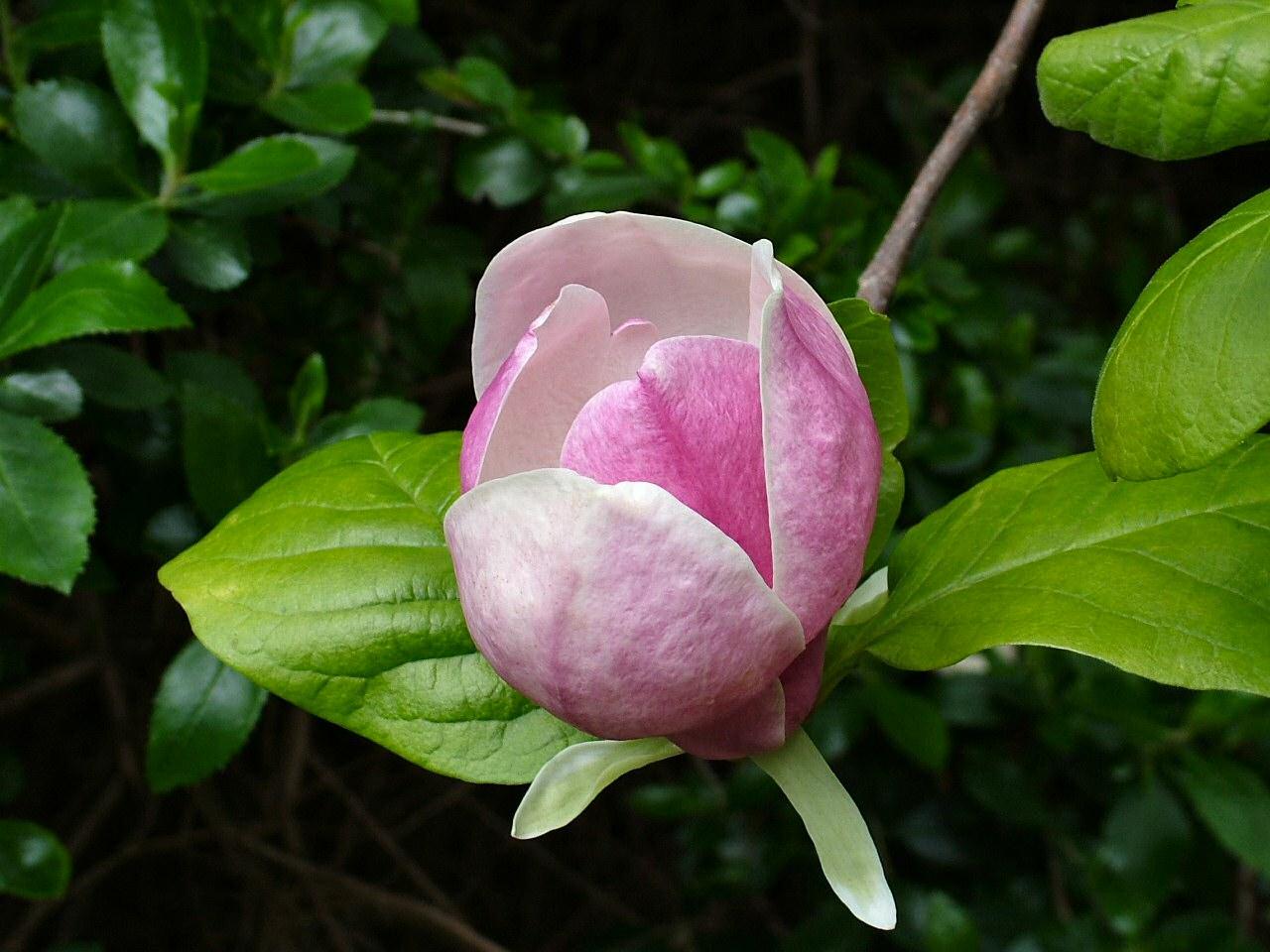 Magnolia_( dicotiledônea)