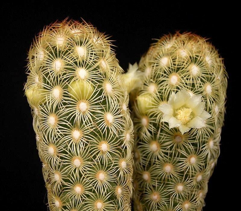 Mammillaria_elongata_1