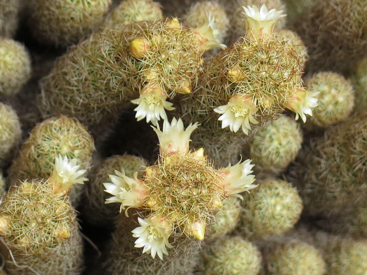Mammillaria_elongata_8
