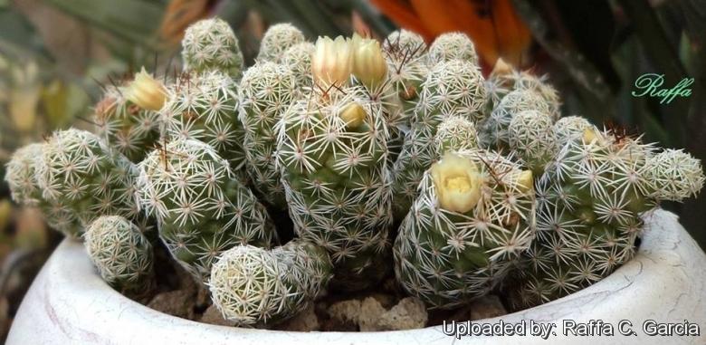 Mammillaria_gracilis